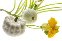 Pattypan, witte pompoen, Cucurbita-pepoinstallatie Stock Foto's