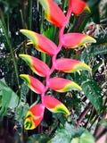 Patuju blomma arkivfoto