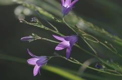 Patula διάδοσης bellflower Campanula Στοκ φωτογραφίες με δικαίωμα ελεύθερης χρήσης