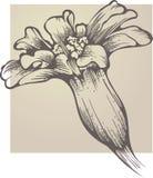 Patula de Tagetes da flor ilustração stock
