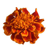 Patula de Tagetes de fleur de souci d'isolement sur le fond blanc Images stock