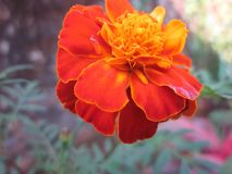 Patula de Tagetes de fleur de souci image libre de droits
