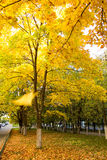 Patula yellow autumn maple Royalty Free Stock Image