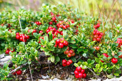 Patulent lingonberry bush. Royalty Free Stock Photography