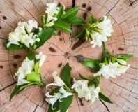 Pau-cetim de Andaman no fundo de madeira Fotos de Stock Royalty Free