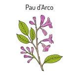Pau d arco Tabebuia impetiginosa , or trumpet tree, medicinal plant Stock Photography