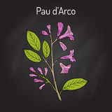Pau d arco Tabebuia impetiginosa , or trumpet tree, medicinal plant. Hand drawn botanical vector illustration Royalty Free Stock Image
