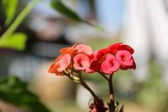 Pau Sian czerwieni jaskrawi kwiaty Zdjęcia Royalty Free