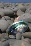 Paua Shell Stock Photography