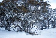 Pauciflora del eucalipto del árbol de goma de nieve en nieve Fotografía de archivo libre de regalías