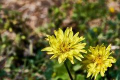 Pauciflorus di Pyrrhopappus - di Texas False Dandelion - inoltre ha chiamato la deserto-cicoria di Smallflower, dente di leone de fotografia stock