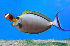 Pauda tang and clown fish Stock Images