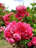 Paul Crampel Rose Fotos de Stock Royalty Free