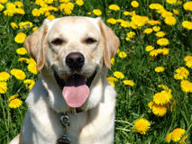 Paul in dandelions. Golden retriever/labrador-mix in a dandelion meadow Royalty Free Stock Images