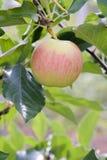 Paula ett rött äpple i ett träd arkivbilder