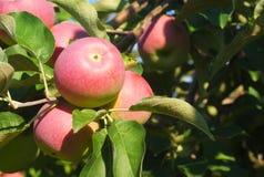 Paula röda äpplen i trädet, fruktträdgårdfilial arkivbild