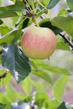 A paula red apple in a tree stock images