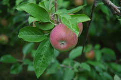 Paula Red Apples on the Tree. Paula Red apples on a tree in an orchard in upstate New York stock photography