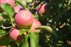Paula red apples in tree, orchard branch stock photography