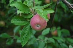 Paula-rote Äpfel auf dem Baum Stockfotografie
