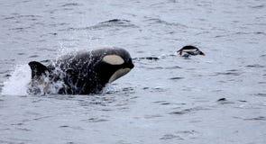 Épaulard chassant le pingouin de Gentoo Photographie stock libre de droits