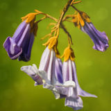 Paulownia Flowers Royalty Free Stock Image