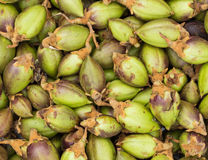 Paulownia Green Seeds Royalty Free Stock Photo