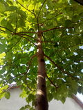 Paulownia tree. Giant Paulownia tree just 4 years old Stock Photo