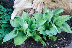 Pauls Glory Hosta Plant Arkivfoto