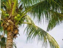 Paume avec des noix de coco au fond de ciel photos libres de droits