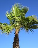 Paume avec le ciel bleu comme fond qui se développe à côté du méditerranéen, Costa Blanca, Espagne Image stock