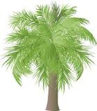 Paume d'isolement avec les feuilles légères luxuriantes Image stock