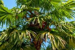 Paume de Borassus ou de Palmyra d'usine de palmier dans un ciel bleu photographie stock libre de droits