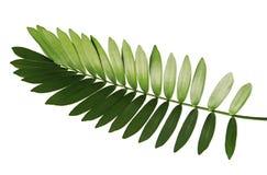 Paume de carton ou furfuracea de zamia ou feuille mexicaine de cycad d'isolement sur le fond blanc image libre de droits