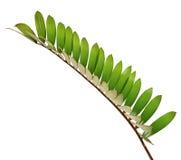 Paume de carton ou furfuracea de zamia ou feuille mexicaine de cycad d'isolement sur le fond blanc photo stock
