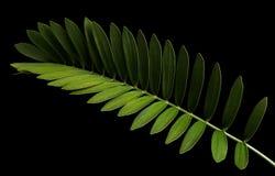 Paume de carton ou furfuracea de zamia ou feuille mexicaine de cycad d'isolement sur le fond noir image libre de droits