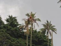 Paume de cire dans le salento Quindio Colombie Photo libre de droits