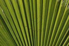 Paume de fan de la Californie, paume de fan de désert Image stock