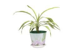 Paume de plantes d'intérieur Image libre de droits