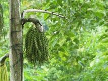 Paume du Madagascar Photos libres de droits