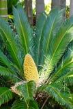 Paume jaune de cône de fruit photo libre de droits