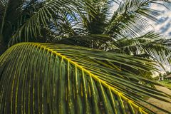 Paume tropicale photos stock