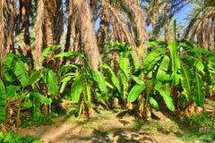 Paumes de banane, oasis de Tamerza, Sahara Desert, Tunisie, Afrique, HDR Photographie stock