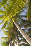Paumes de Cocos Image stock