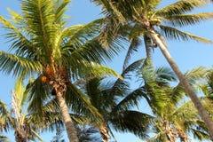 Paumes de Cocos comme fond Images libres de droits
