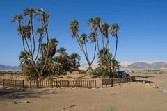 Paumes de Doum dans la réserve naturelle d'Avrona Images libres de droits