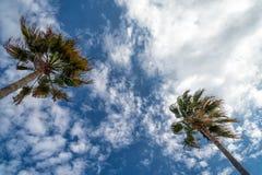 Paumes de fan de la Californie Photographie stock libre de droits