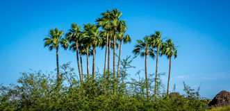 Paumes de l'Arizona Image libre de droits