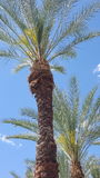 Paumes de Las Vegas Photos libres de droits