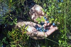 Paumes de myrtille de baie Photographie stock libre de droits